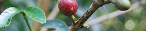 Höga Kusten Kaffe Rosteri Enbart bönor från Etiopien