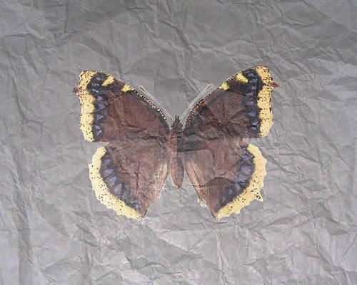 Fjärilskola