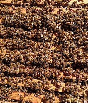 Sponsra En Bikupa & Föreläsningar - Företag Vill ni vara med och pollinera Sverige? Eller är ni som företag nyfikna på biodling eller vill ni sponsra en bikupa? Läs mer här!